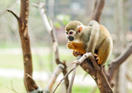 squirrel monkey: Squirrel monkey in a branch in Costa Rica