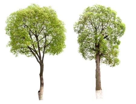 Pequeño árbol de alcanfor aislado en blanco