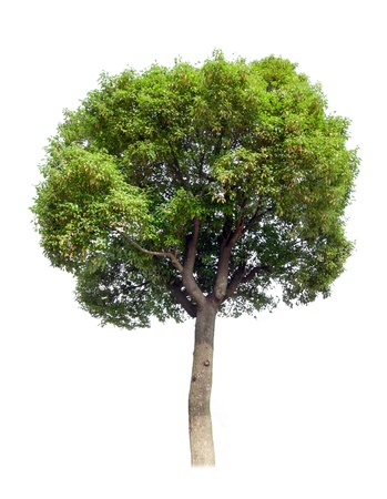 greenness: Small camphor tree isolated on white