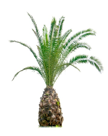 cycas: a cycas with white background
