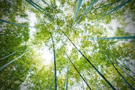 bamboo forest: bamboo forest with morning sunlight Stock Photo