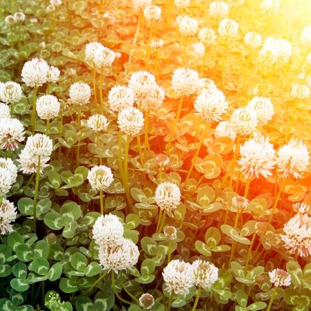 white clover: Sun, wild clover, very beautiful.  Stock Photo