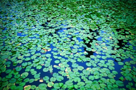 Lily pads on the surface of a pond. photo