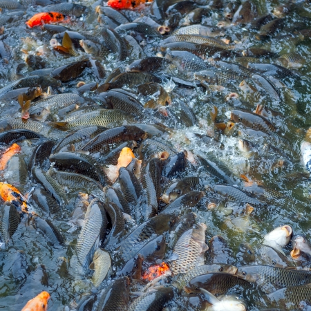 aggregation: Carp and other fish together