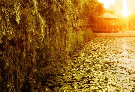 duckweed: Dusk park, willow and duckweed.