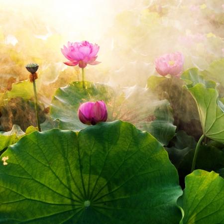 日没で開花の美しい蓮の花