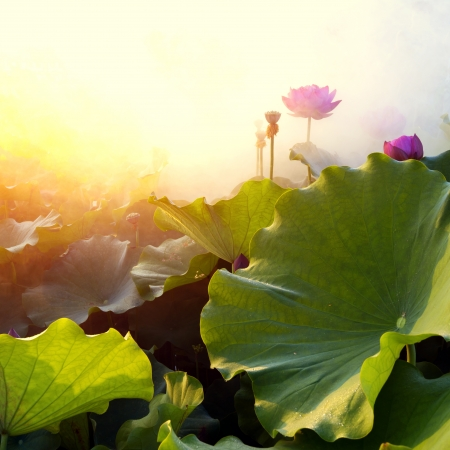 beautiful lotus flower in blooming at sunset  photo