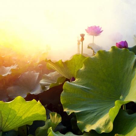 schöne Lotosblume in blühender bei Sonnenuntergang