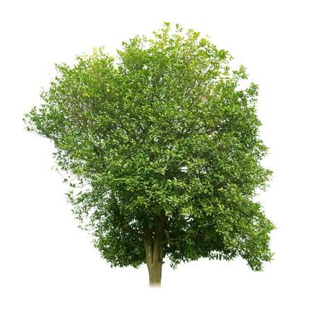 tree canopy: Sweet osmanthus tree isolated on white