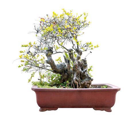 bonsai tree: Small bonsai tree in a ceramic pot.