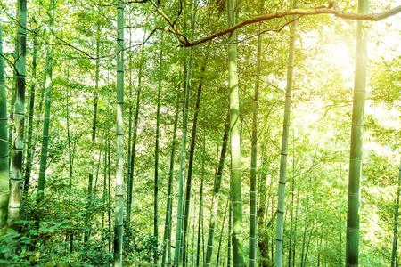 dense: Dense bamboo forest, rural landscape.