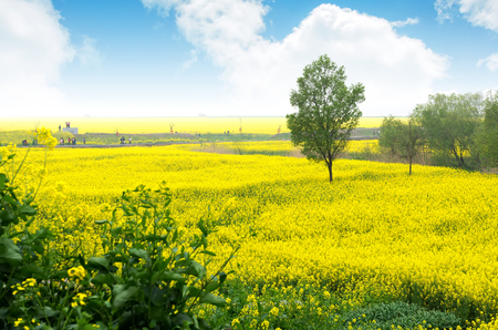 agri: Canola flower and tourists under the blue sky