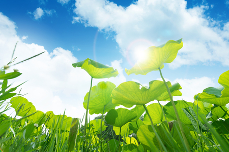 green lotus leaves on the blue sky background