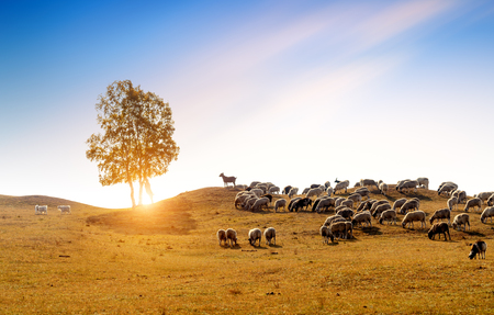 The flock on the grassland, Inner Mongolia, China.