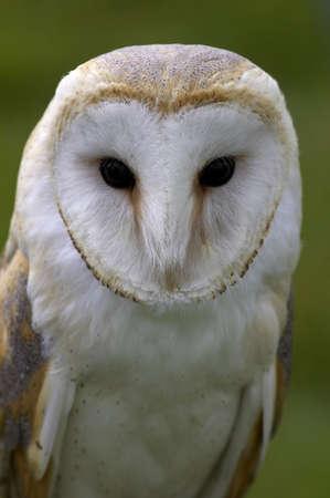 a large bird of prey: Granaio civetta