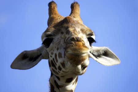 Smiling giraffe Stock Photo - 228050