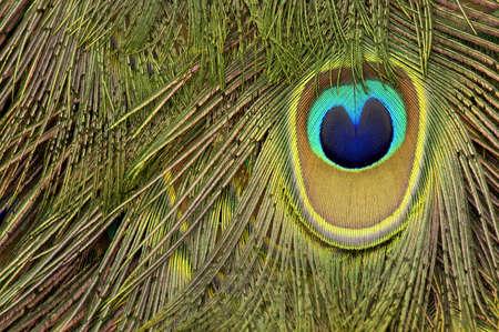 peacock feather Stock Photo - 228049