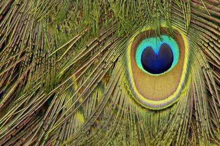 marking up: Peacock pluma