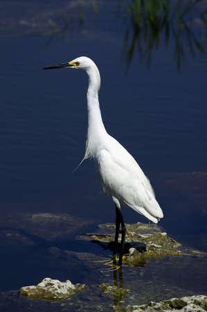 ardeidae: Snowy egret white heron everglades state national park florida usa