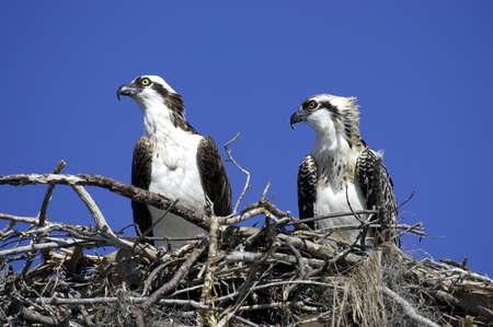 osprey: Osprey in nest