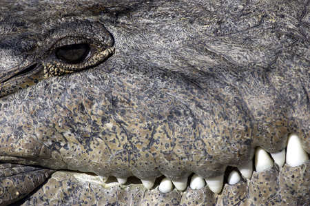 cold blooded: Crocodile everglades state national park florida usa Stock Photo