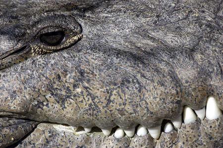 Crocodile everglades state national park florida usa Stock Photo