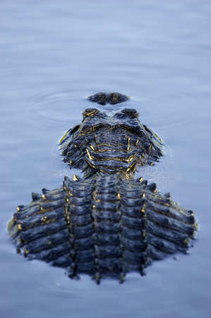 Alligator partially submerged everglades state national park florida usa