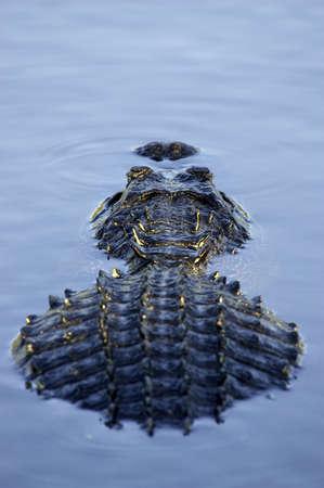 submerged: Alligator partially submerged everglades state national park florida usa