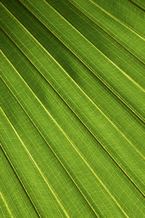 folio: Palm leaf