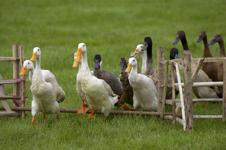 waddling: group of ducks jumping a fence Stock Photo