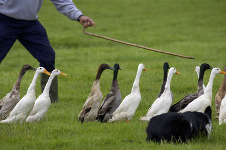 waddling: farmer and sheep dog guiding a group of ducks