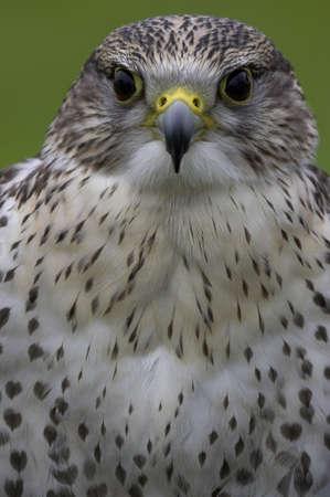 a large bird of prey: Saker Falcon  Archivio Fotografico