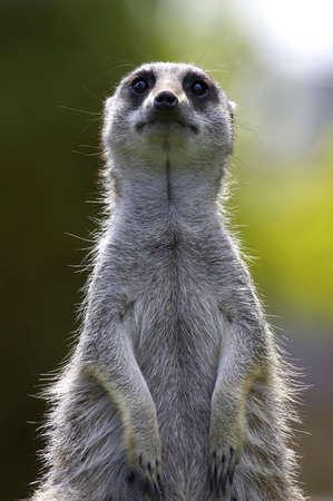 stood: Meerkat on duty