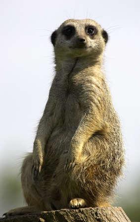 duty: Meerkat on duty