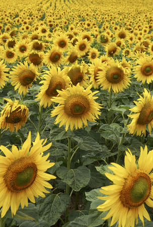 withering: Field of Sunflowers half way through lifecycle