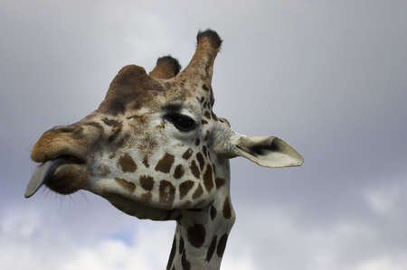 mottled skin: Giraffe sticking tongue out