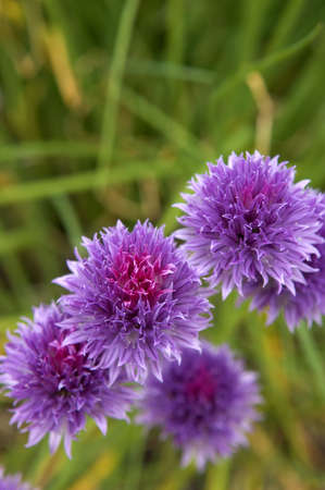 Chives in bloom photo