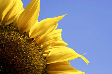 Single yellow sunflower against blue sky Stock Photo - 234885
