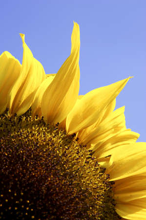 Single yellow sunflower against blue sky Stock Photo