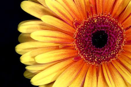 Close up of Gerbera flower head Stock Photo