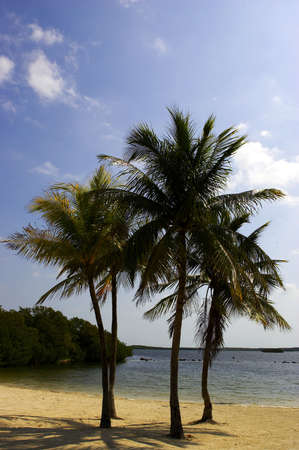 Four palm trees on a beach, Florida Bay, Everglades, USA photo