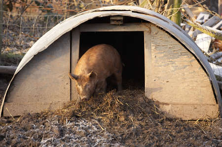 sty: Tamworth pig coming out of sty