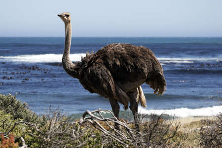struthio camelus: southern ostrich struthio camelus along the roadside at the cape of good hope part of the table mountain national park cape town western cape province south Africa