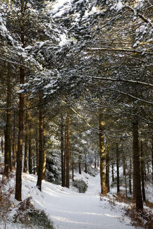 early evening woodland scene after a snow fall winter whinfell forest penrith cumbria uk