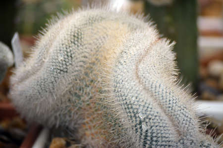 christmas cactus: Closeup of a green color cactus plant Stock Photo