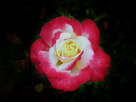 two tone: Two tone color (red and white) rose on dark background