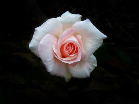 two tone: Two tone color rose on dark background