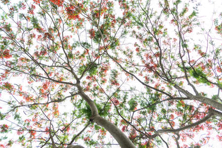 royal background: Royal Poinciana tree (Peacock flower) on white background Stock Photo