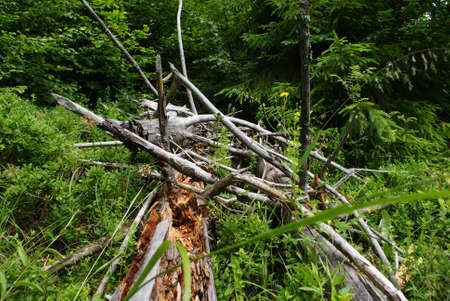 forest deadfall