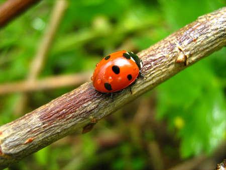 ladybug crawling on a wooden rod